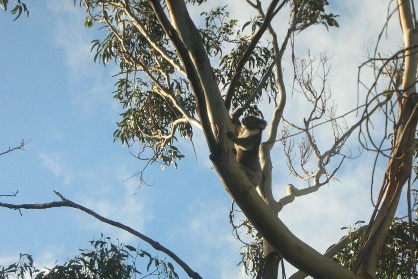 Ein Koala klettert hoch oben auf einem Eukalyptusbaum. Der Himmel ist strahlend blau.