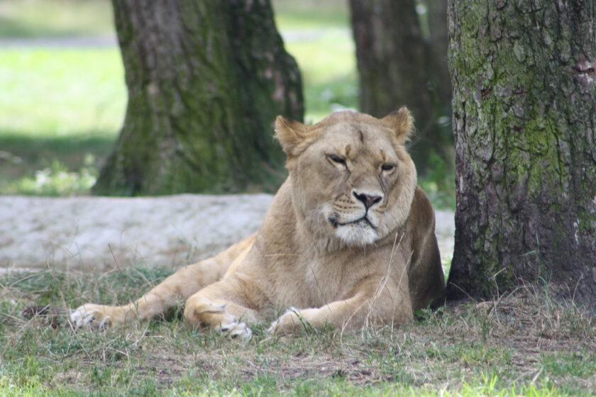 Eine Löwin liegt neben einem Baum auf einer WIese.